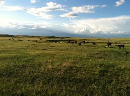 cows Sky BN